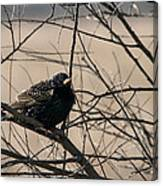 European Starling Canvas Print