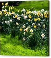 Spring Daffodils. Park Keukenhof Canvas Print