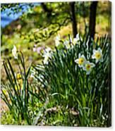 Spring Daffodils.park Keukenhof Canvas Print