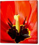 Red Tulip In Spring Canvas Print