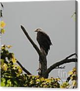 Spring Eagle I Canvas Print