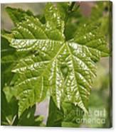 Spring Grape Leaf Canvas Print