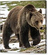 Spring Grizzly Bear Canvas Print