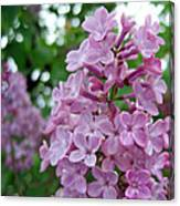 Spring Lilac Canvas Print