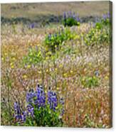 Spring Lupines And Cheatgrass Canvas Print