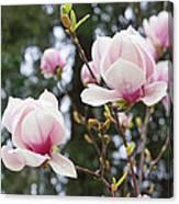 Spring Magnolia Tree Flowers Pink White Canvas Print