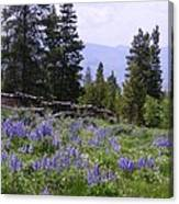 Spring Mountain Lupines Canvas Print