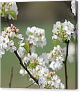 Spring Pear Blooms Canvas Print