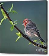 Song Bird In Spring Canvas Print