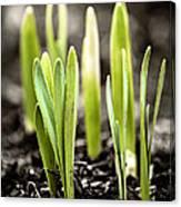 Spring Shoots Canvas Print