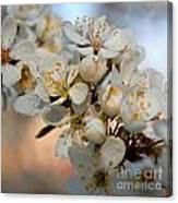 Spring Smells Of Cherries Canvas Print