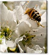 Spring Time Cherry Blossoms Canvas Print