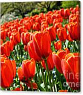 Spring Time Tulips 3 Canvas Print
