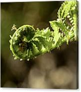 Spring Unfurled Fiddlehead Canvas Print