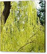 Spring Weeping Willow Canvas Print