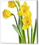 Spring Yellow Daffodils Canvas Print