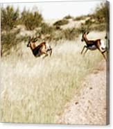 Springbok Running Canvas Print
