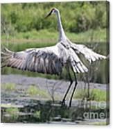 Springing Sandhill Crane Canvas Print