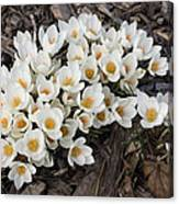 Springtime Abundance - A Bouquet Of Pure White Crocuses Canvas Print