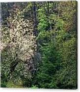 Springtime Forest Blossoms  Canvas Print