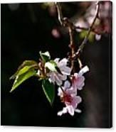 Springtime In Napa Ca Canvas Print