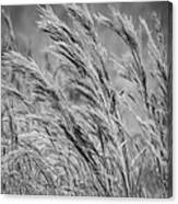 Springtime In The Field - Bw Canvas Print