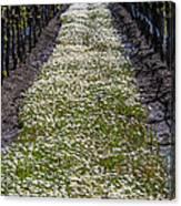 Springtime In The Vineyards Canvas Print