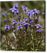 Springtime Tiny Bluet Wildflowers - Houstonia Pusilla Canvas Print