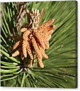 Sprintime Pine Canvas Print