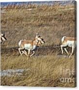 Sprinting Pronghorn Canvas Print