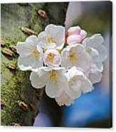 Sprouting Cherry Blossoms Canvas Print
