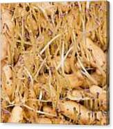 Sprouting Russian Banana Fingerling Seed Potatoes Canvas Print