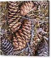 Spruce Cones Canvas Print