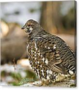 Spruce Grouse In The Snow Canvas Print