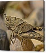 Spur-throated Grasshopper Canvas Print