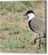 Spur-winged Lapwing Canvas Print