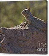 Squirrel   #8424 Canvas Print