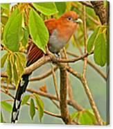 Squirrel Cuckoo In Costa Rica Canvas Print