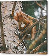 Squirrel In A Tree Canvas Print