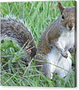 Squirrel On The Grass Canvas Print