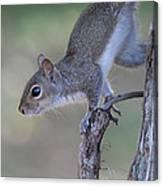 Squirrel Pose Canvas Print