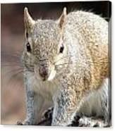 Squirrel Profile Canvas Print