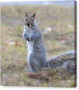 Squirrel With Dirt On Nose Canvas Print
