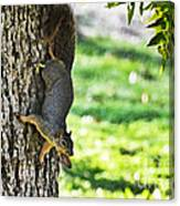 Squirrel With Pecan Canvas Print