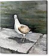 St Augustine Gull Canvas Print
