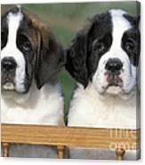 St. Bernard Puppies Canvas Print