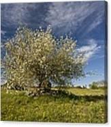St Lucie Cherry (prunus Mahaleb) Canvas Print