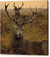 Williams Fine Art Stag Party The Series  Canvas Print