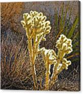 Staghorn Cholla Cactus Catching Sunlight In Joshua Tree Np-ca Canvas Print
