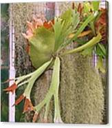Staghorn Fern Canvas Print